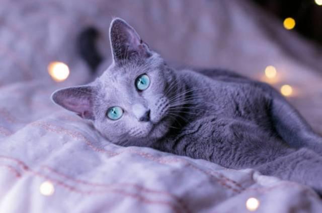 2018-10-10_09h26_48 ロシアンブルーの目は何色?目の色が変わる理由とは!