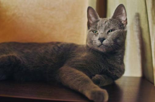 ロシアンブルーのよだれが気になる?その原因は猫食道拡張症?
