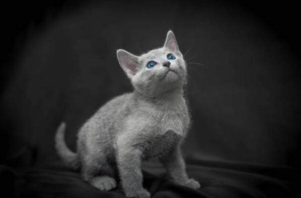 ロシアンブルーの子猫はいつから留守番できる?注意点など紹介!