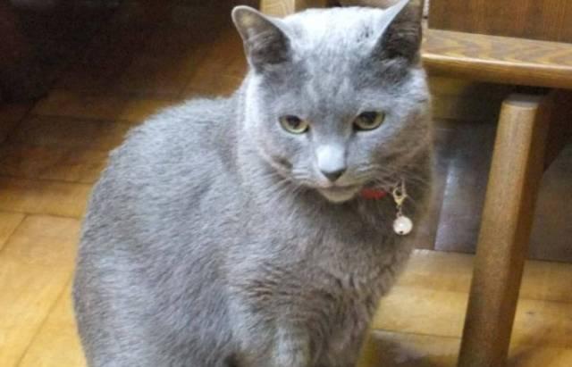 ロシアンブルーは猫アレルギーでも飼える?猫アレルギーの対処法は?