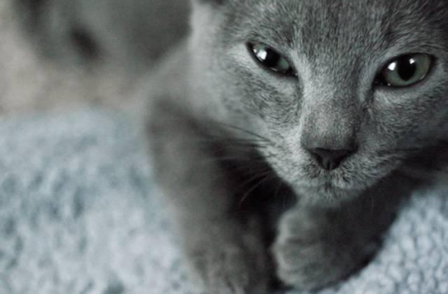ロシアンブルーのよだれが気になる?その原因は猫ウイルス性鼻気管炎かも?