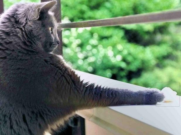 ロシアンブルーを購入する際の注意点!血統書付きの猫は優秀?