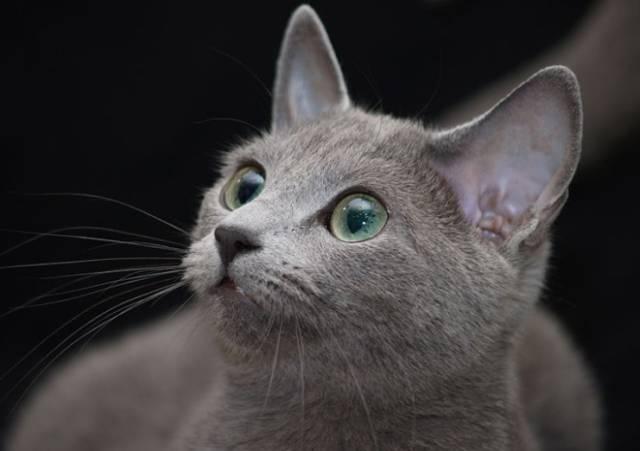 2018-10-10_09h26_25 愛猫のロシアンブルーがくしゃみ?猫のアレルギー症状について!