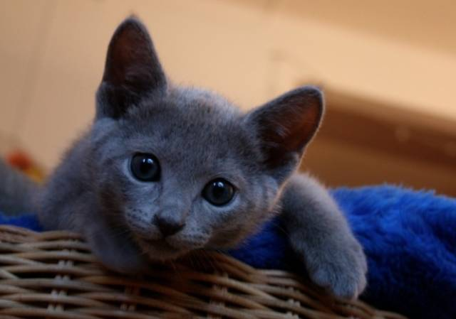 愛猫のロシアンブルーがくしゃみ?猫のアレルギー症状について!