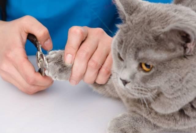 ロシアンブルーの子猫の爪はいつから切る?切り方と頻度は?
