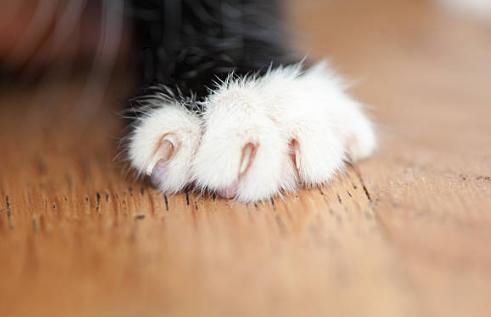 2018-10-24_10h27_52 ロシアンブルーの子猫の爪はいつから切る?切り方と頻度は?