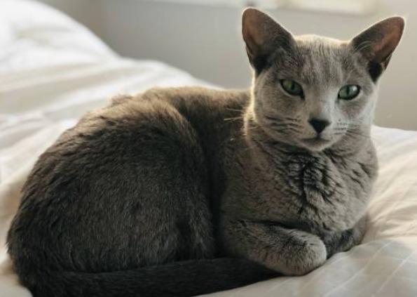 2018-11-08_10h21_57 ロシアンブルーを飼いたい!子猫の相場はいくら?