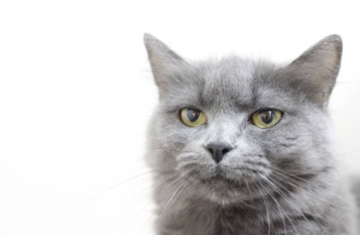 2018-11-08_10h39_19 ロシアンブルーを購入する際の注意点!血統書付きの猫は優秀?
