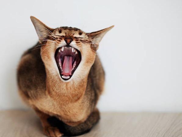 2018-11-17_09h00_42 猫にも歯磨きは必要?!歯磨きの頻度とやり方について!