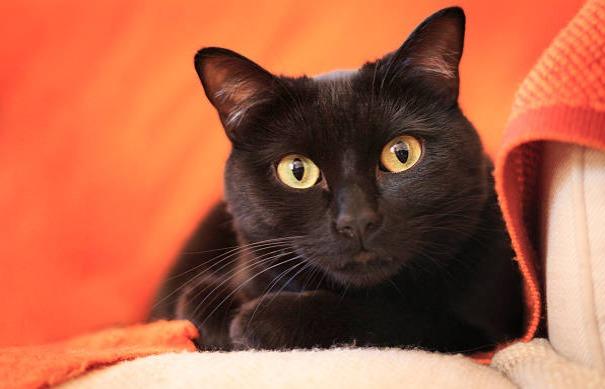 黒猫を見ると不吉だといわれるのは何故?理由について調べました!